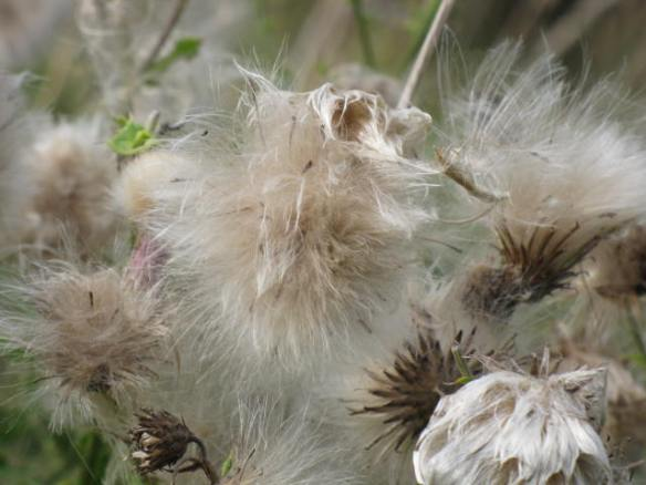 Another thistle seed head