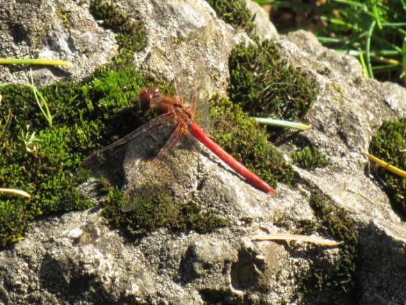 Dragonfly in November