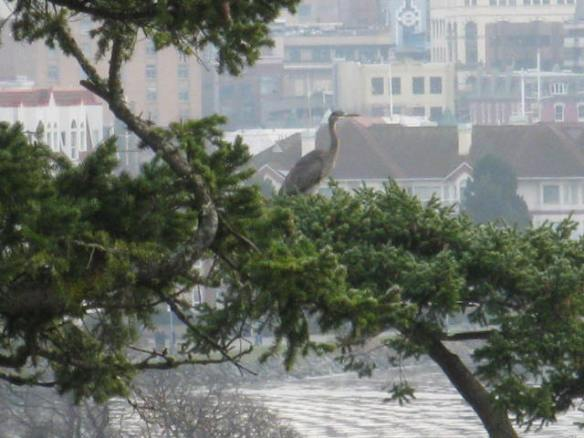 Blue Heron in a Tree
