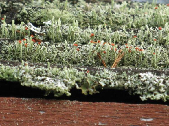 Lichen on a Shed Roof