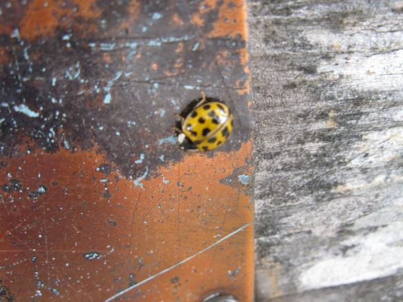 Ladybug on a copper plaque