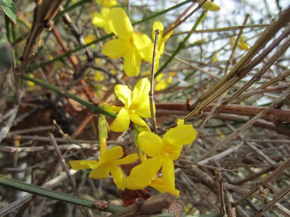 Jasminium nudiflorum