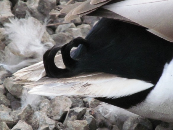 The Curl on a Mallard's Tail Feathers
