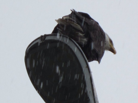 Bald Eagle on a Lamp Post in the Falling Snow