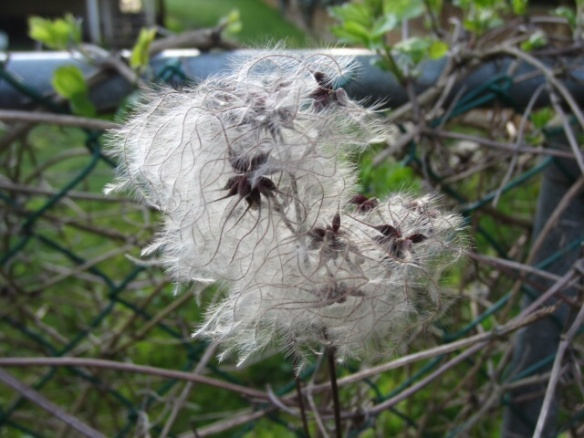 Clematis Flower Gone to Seed